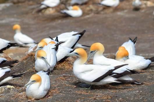 australasian-gannets-on-at-muriwai-gannet-colony-waitakere-new-zealand