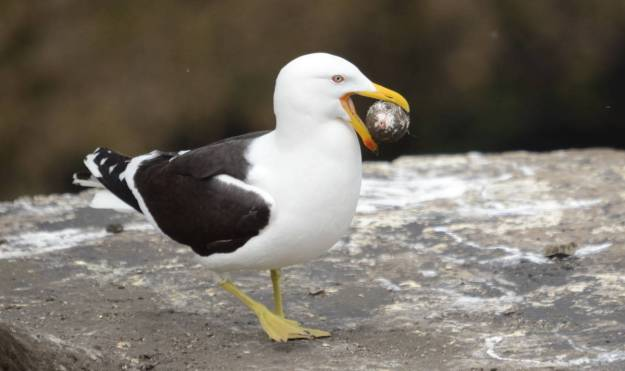 southern-black-backed-gull-steals-an-australasian-gannet-egg-at-the-muriwai-gannet-colony-waitakere-new-zealand-pic-2