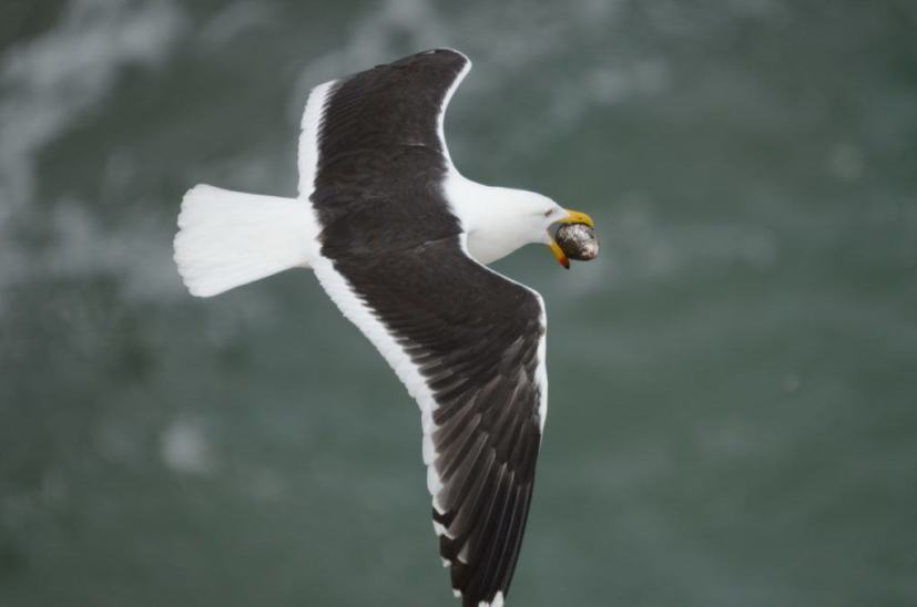 southern-black-backed-gull-steals-an-australasian-gannet-egg-at-the-muriwai-gannet-colony-waitakere-new-zealand-pic-4