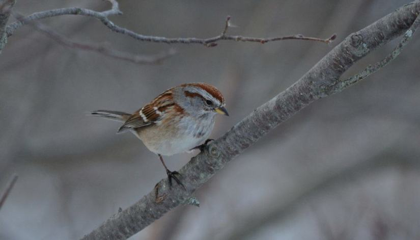 american-tree-sparrow-lynde-shores-whitby-ontario-pic-1