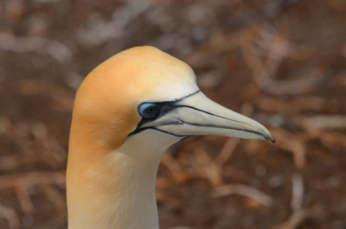 closeup-of-an-australasian-gannet-at-the-muriwai-gannet-colony-waitakere-new-zealand