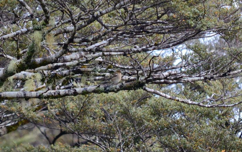 An image of a female Chaffinch sitting in a tree at Tawhai Falls in Tongariro National Park in New Zealand. Photography by Frame To Frame - Bob and Jean.