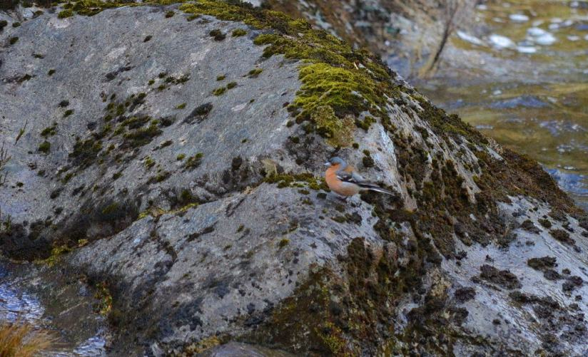 An image of male Chaffinch sitting on a rock at Tawhai Falls in Tongariro National Park in New Zealand. Photography by Frame To Frame - Bob and Jean.