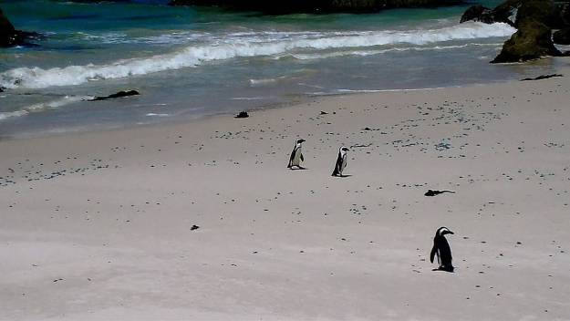 An image of African penguins walking on the beach at Boulders Beach, South Africa.