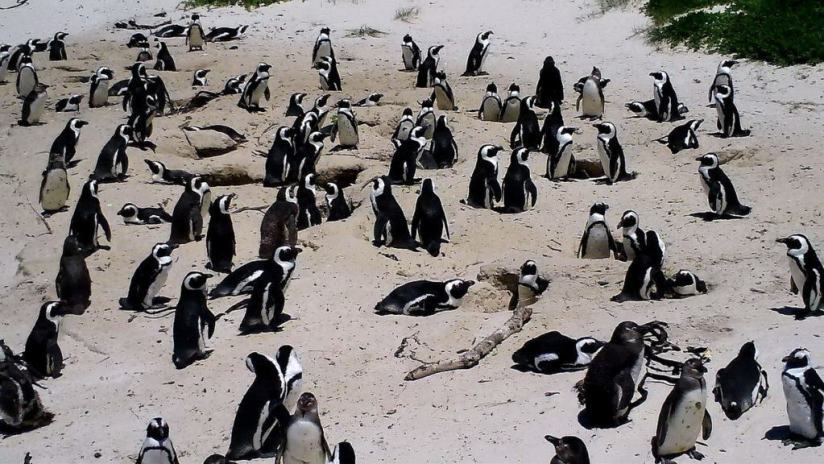 An image of the African penguin colony at Boulders Beach, Table Mountain National Park, South Africa.