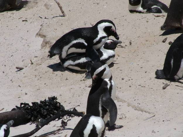 An image of two African penguins mating at Boulders Beach, South Africa.