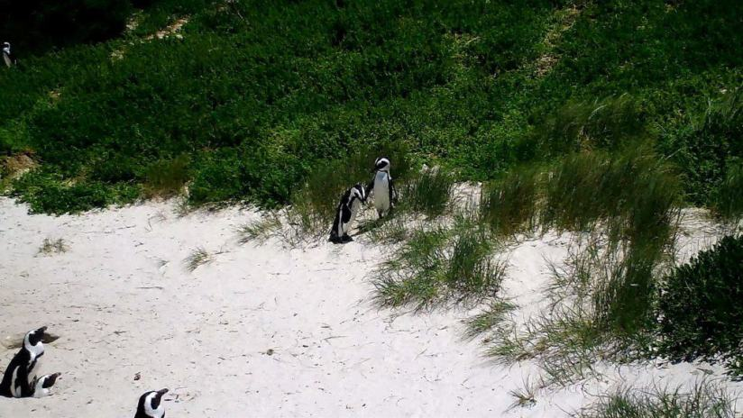 An image of African penguins along the sand dunes at Boulders Beach, South Africa.