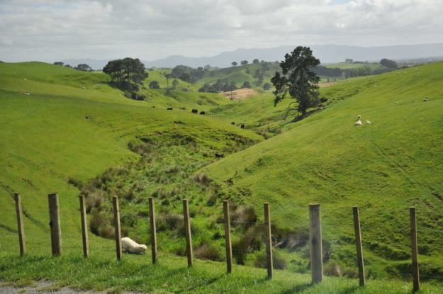 An image of the Alexander sheep farm which is home to Hobbiton in New Zealand. Photography by Frame To Frame - Bob and Jean.