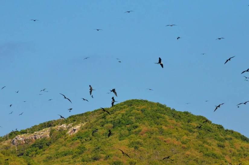 magnificent frigatebirds in flight above Isla Isabel off San Blas, Mexico