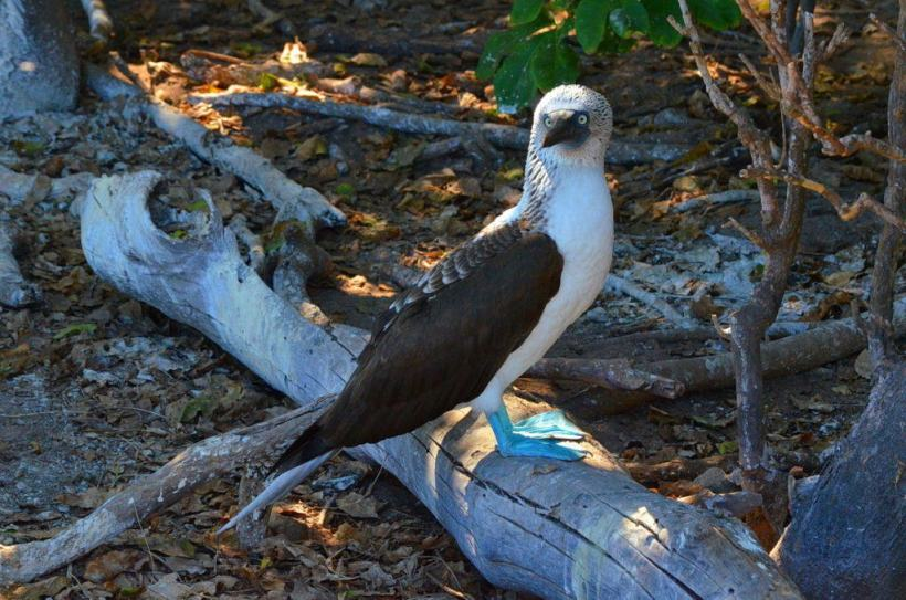An image of a blue-footed booby bird sitting on a log on Isla Isabel off San Blas, Mexico. Photography by Frame To Frame - Bob and Jean.