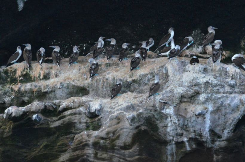 An image of over a dozen Blue-footed booby sitting on a cliff on Isla Isabel off San Blas, Mexico. Photography by Frame To Frame - Bob and Jean.