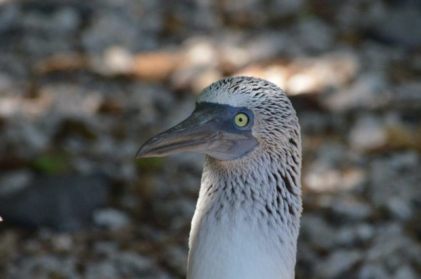 A closeup image of the face of a blue-footed booby on Isla Isabel off San Blas, Mexico. Photography by Frame To Frame - Bob and Jean.
