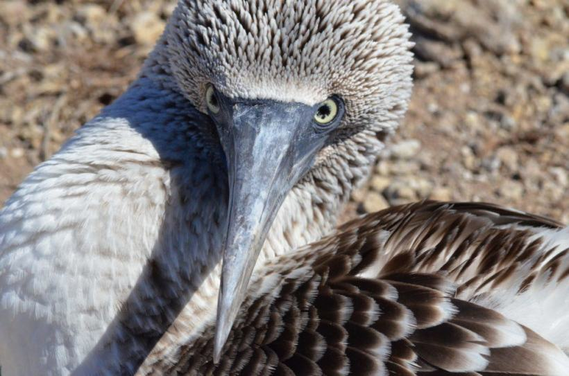 A closeup of the face of a blue-footed booby on Isla Isabel off San Blas, Mexico. Photography by Frame To Frame - Bob and Jean.