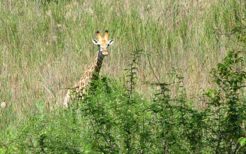 An image of a giraffe standing with its head above various bushes in Kruger National Park in South Africa. Photography by Frame To Frame - Bob and Jean.