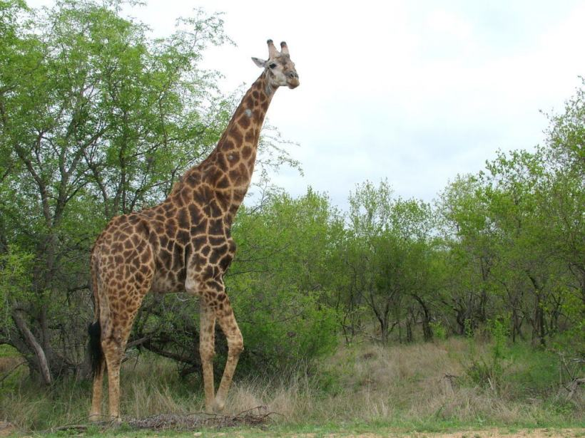 An image of a giraffe standing beside a tree in Kruger National Park in South Africa. Photography by Frame To Frame - Bob and Jean.