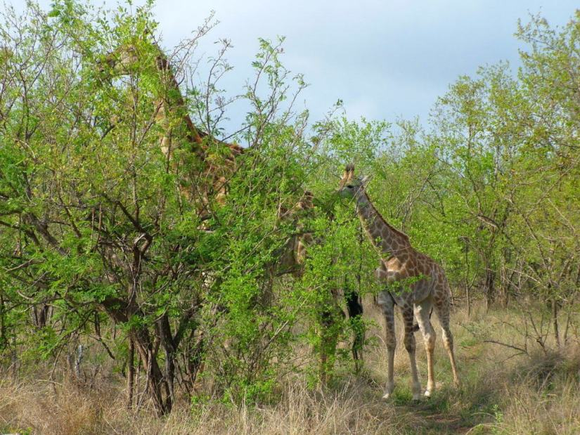An image of a mother giraffe with its baby giraffe in Kruger National Park in South Africa. Photography by Frame To Frame - Bob and Jean.
