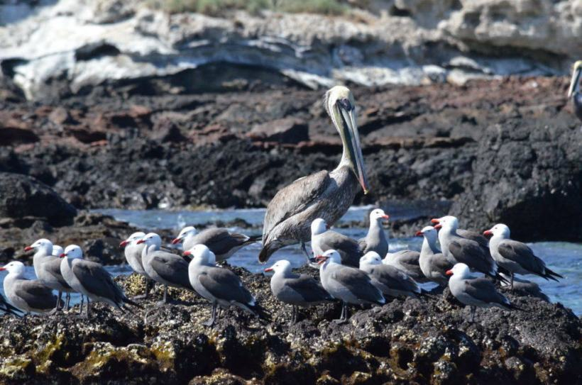 An image of a Green pelican and gulls on the rocks on Isla Isabel off San Blas, Mexico. Photography by Frame To Frame - Bob and Jean.