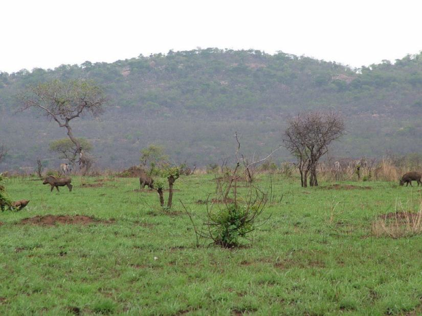 herd-of-warthogs-in-kruger-national-park-south-africa