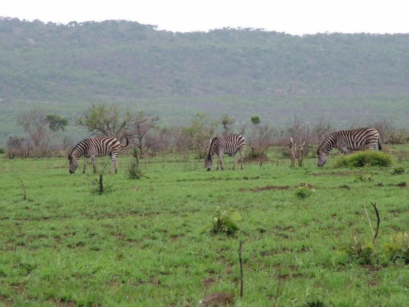 herd-of-zebras-in-kruger-national-park-south-africa