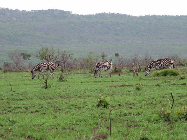 herd-of-zebras-in-kruger-national-park-south-africa