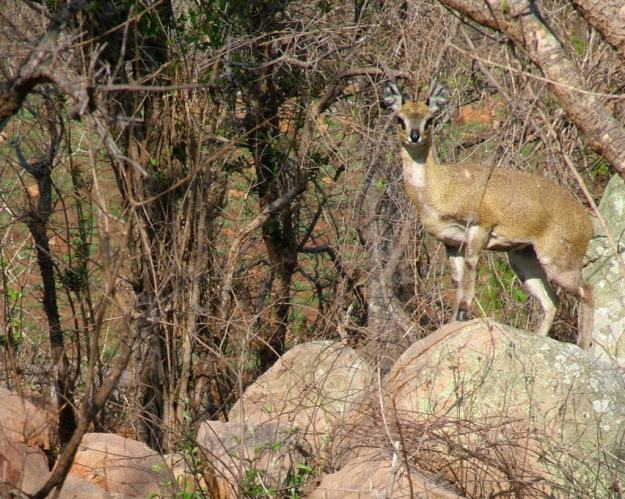 An image of a male Klipspringer antelope standing on a rock near Nkumbe Lookout in Kruger National Park in South Africa.