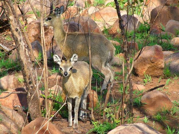 klipspringers-among-rocks-in-kruger-national-park-south-africa-pic-5