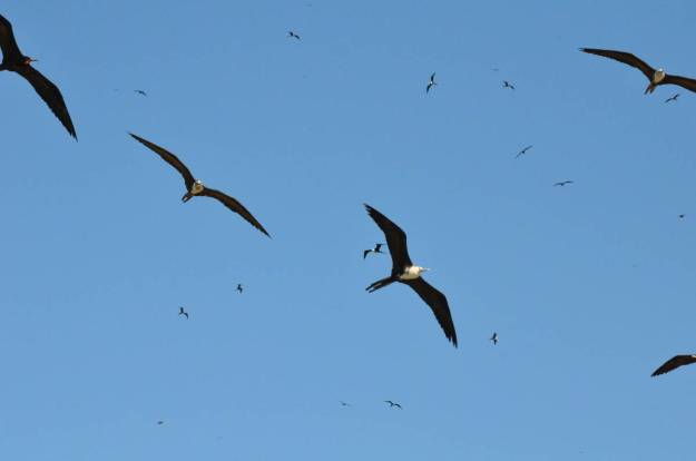 An image of magnificent frigatebirds in flight above Isla Isabel off San Blas, in Mexico. Photography by Frame To Frame - Bob and Jean.