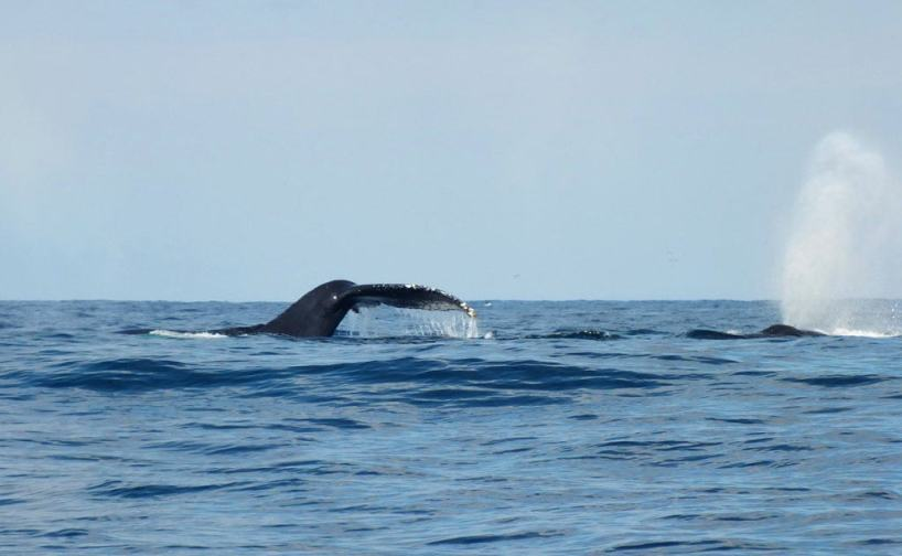 An image of whales on the surface of the Pacific Ocean off San Blas, Mexico. Photography by Frame To Frame - Bob and Jean