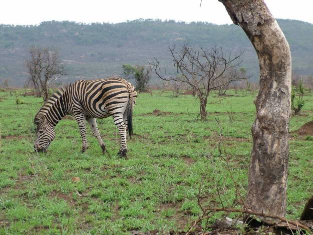 zebra-in-kruger-national-park-south-africa