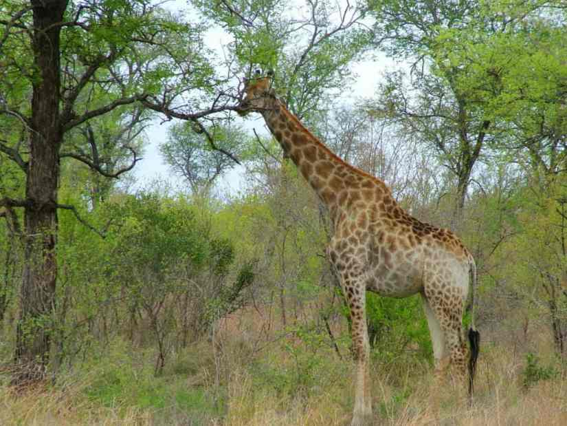 An image of a Giraffe in Kruger National Park, South Africa. Photography by Frame To Frame - Bob and Jean.