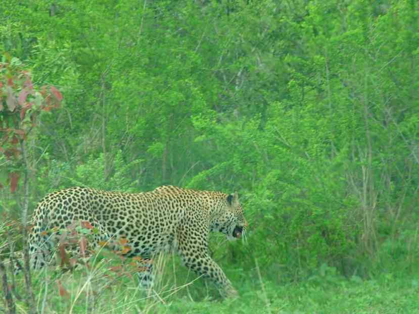 An image of a leopard in Kruger National Park, South Africa. Photography by Frame To Frame - Bob and Jean.