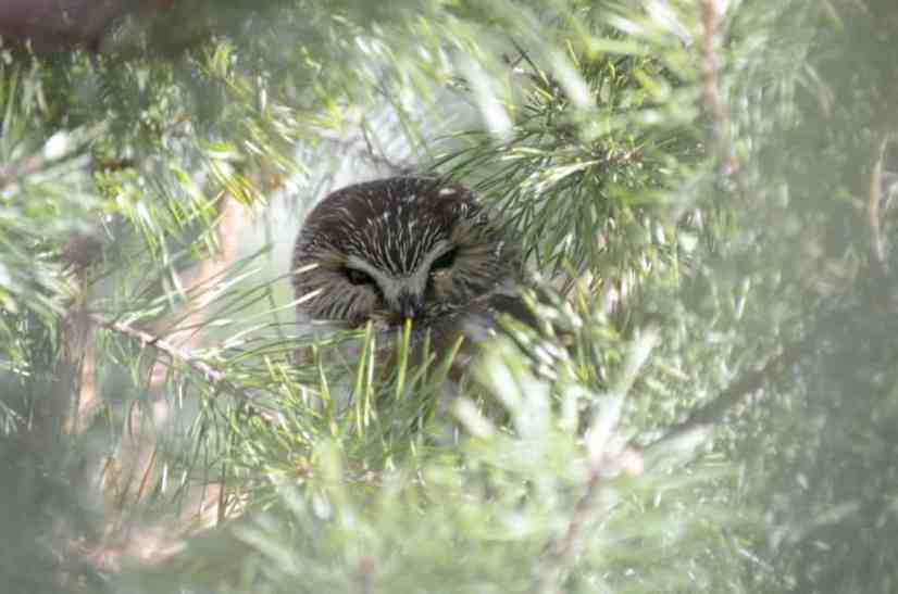 An image of a Northern Saw-whet owl sitting in a tree in the Oshawa, Ontario area.