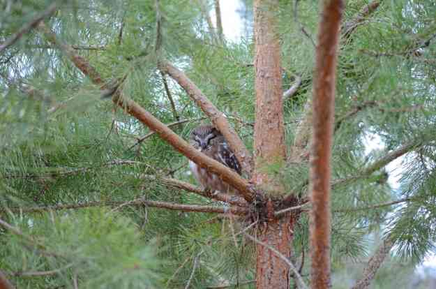 Image of Northern Saw-whet Owl sitting in a pine tree near Oshawa, Ontario, Canada. Photography by Frame To Frame - Bob and Jean