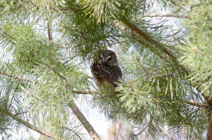 A photograph of a Northern Saw-whet owl sighted in the Oshawa, Ontario area.