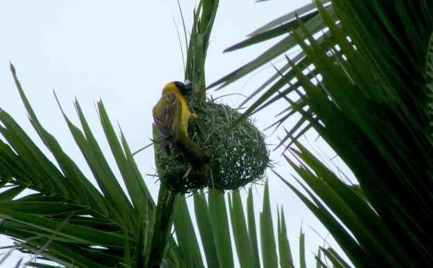 Image of a lesser-masked weaver working on the top of a nest at Skukuza Rest Camp in Kruger National