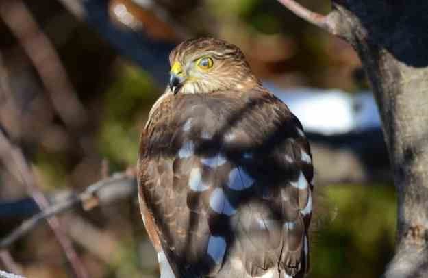 An image of a sharp-shinned hawk sitting in an apple tree in Toronto, Ontario. Photography by Frame To Frame - Bob and Jean