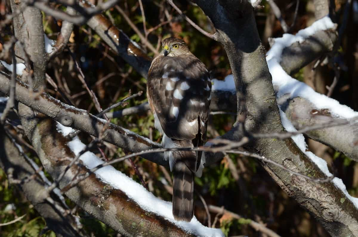 a sharp shinned hawk stalks our backyard feeders