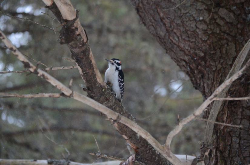 Image of a hairy woodpecker in Algonquin Park in Ontario, Canada. Photography by Frame To Frame - Bob and Jean