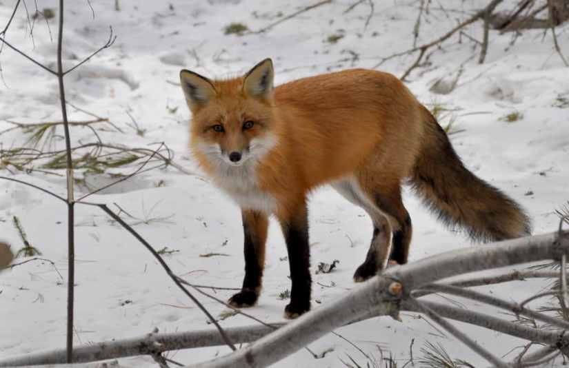 Image of a red fox standing in the forest near spruce bog in Algonquin Park in Ontario, Canada. Photography by Frame To Frame - Bob and Jean