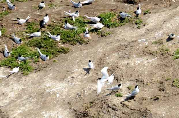 An image of the White-fronted Tern Colony at Muriwai in New Zealand.