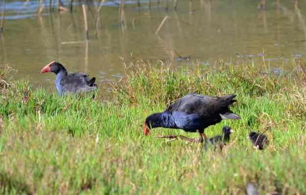 An image of an Australasian Swamphens and chicks on the edge of the Karekare Stream near Auckland, New Zealand.