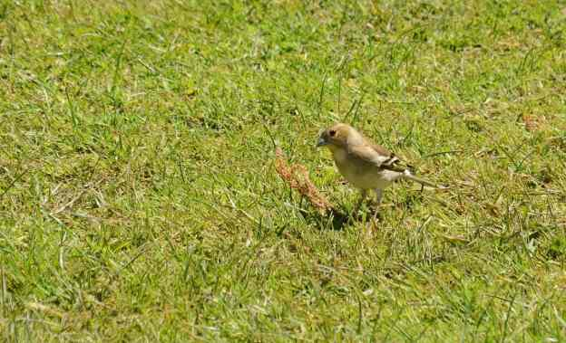 An image of a Female Chaffinch beside the Karekare Stream near Auckland, New Zealand.
