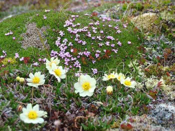 Northern White Mountain Avens growing on quirpon island, newfoundland, canada