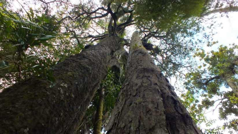 An image of a Kauir tree in the Waitakere Ranges Regional Park near Auckland, New Zealand.