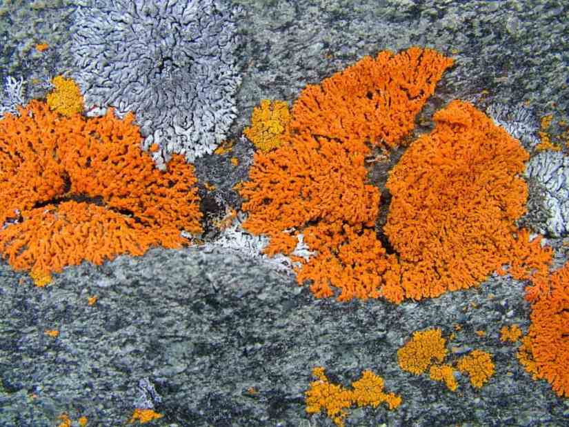 orange sea lichen on quirpon island, newfoundland, canada