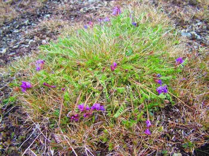 newfoundland oxytrope on quirpon island, newfoundland, canada