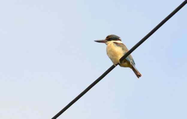 An image of a Sacred Kingfisher near Karekare Falls, Auckland, New Zealand.