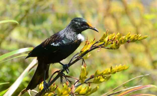 An image of a tui sitting on a plant at the Waitakere Ranges Regional Park near Auckland, New Zealand.