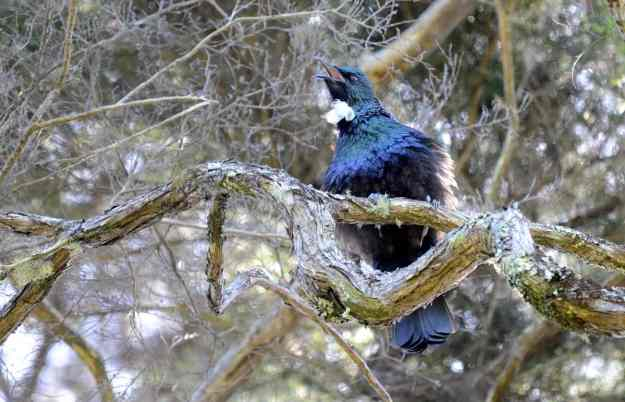 An image of a tui bird singing in a tree at the Waitakere Ranges Regional Park near Auckland, New Zealand.