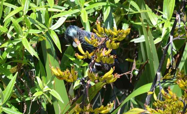 An image of a tui sipping nectar from a flower at the Waitakere Ranges Regional Park near Auckland, New Zealand.